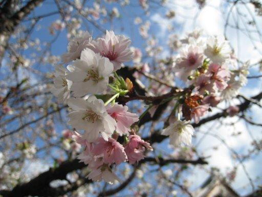 2009_0320_sakura2.jpg