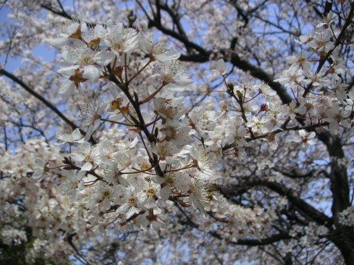 2009_0818_sakura.jpg